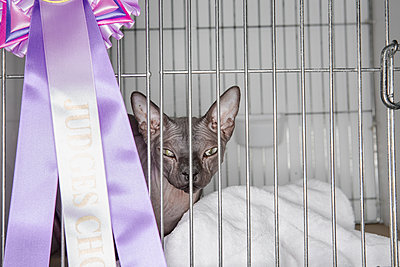Cat in a cage at a cat show. - p1057m1564468 by Stephen Shepherd