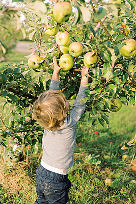 Little toddler boy picking big apples from a young apple tree. - p1166m2151881 by Cavan Images