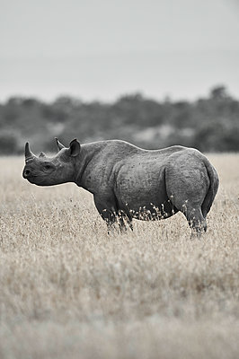 Portrait of rhinoceros, side view, Kenya - p706m2158461 by Markus Tollhopf