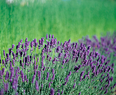 Close-up of Lavenders in a field - p3483944 by Greger Norrevik