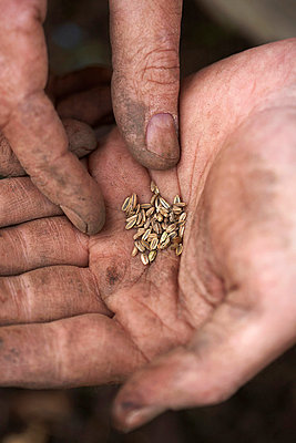 Fennel Seeds in hand - p429m712214f by Danielle Wood