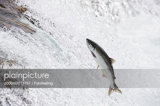 USA, Alaska, Katmai Nationalpark, King Salmon, Brooks Falls, Salmon run - p300m2213757 by Fotofeeling