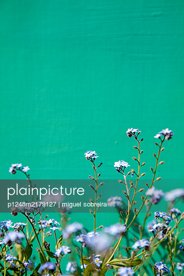 Forget-Me-Nots against green background  - p1248m2179127 by miguel sobreira