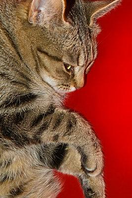 Cat resting on red blanket - p1418m1572058 by Jan Håkan Dahlström