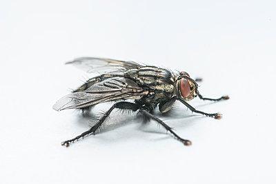 Single fly, Brachycera - p1437m2057082 by Achim Bunz
