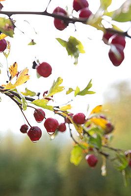 Berries - p454m764436 by Lubitz + Dorner