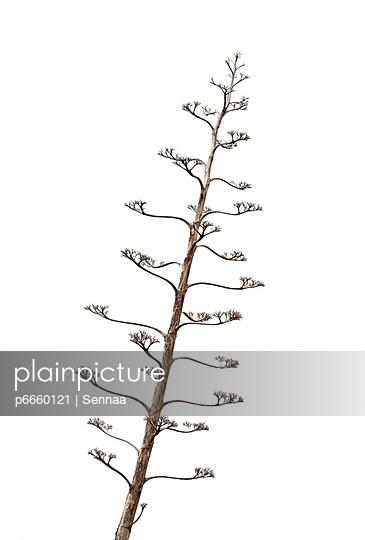 Verholzter Baum - p6660121 von Sennaa