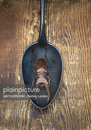 Stag beetle on spoon - p971m2263950 by Reilika Landen
