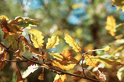 Autumn leaves - p300m2041662 by Borislav Zhuykov