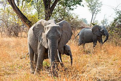 Elefanten im Südluangwa-Nationalpark - p842m1538218 von Renée Del Missier
