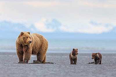 Grizzly Bear mother and cubs digging for clams on tidal flats, Lake Clark National Park, Alaska - p884m1136208 by Ingo Arndt