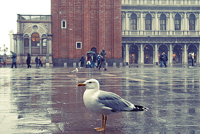 Italy, Venice, Seagull on Piazza San Marco - p1189m2176193 by Adnan Arnaout