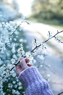 Hand holding a blackthorn twig - p310m2279013 by Astrid Doerenbruch