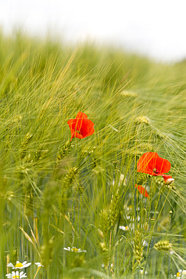 Two red poppies in a blurry field. - p1433m2014883 by Wolf Kettler