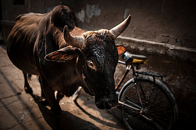 Bull in the street - p1007m1144298 by Tilby Vattard