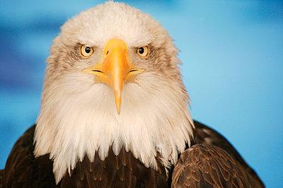 Portrait of a bald eagle - p4420522f by Design Pics