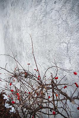 Hagebutten - p954m1214495 von Heidi Mayer