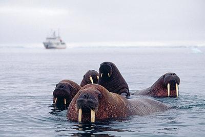 Walrus in water - p5752002f by Magnus Elander