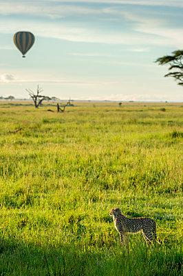 Cheetah & Hot air balloon, Serengeti, Tanzania, Africa - p651m2271095 by Paul Joynson Hicks photography