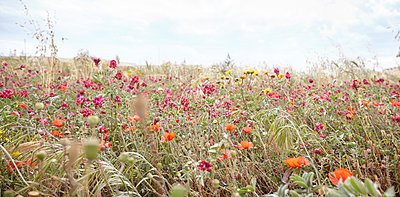 Corn poppies in the meadow - p921m1355385 by Boris Leist