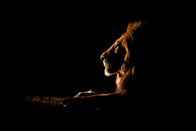 The side profile of a male lion lying down, Panthera leo, at night, lit up by spotlight, looking away - p1100m2061196 by Londolozi Images