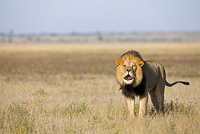 Africa, Botswana, Adult male lion (Panthera leo) roaring - p3004667f by Fotofeeling