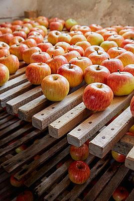 Fresh, ripe harvested apples drying on racks - p301m2039711 by Paul Hudson