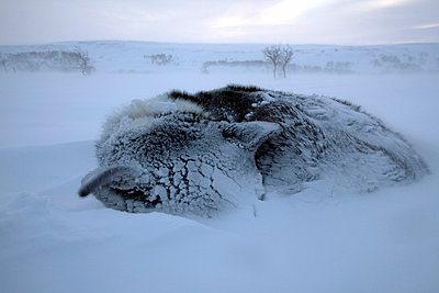 Norway, Finnmark Region. Dog sledding in the Arctic Circle - p6521453 by Mark Hannaford