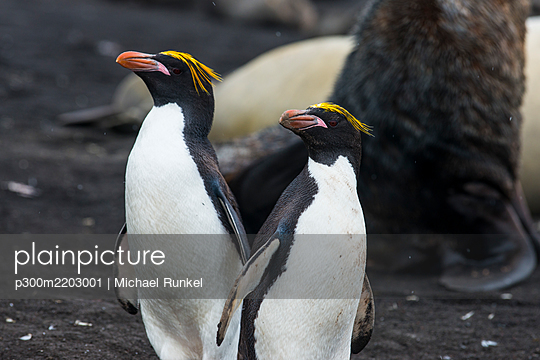 UK, South Georgia and South Sandwich Islands, Portrait of two Southern rockhopper penguins (Eudyptes Chrysocome) - p300m2203001 by Michael Runkel