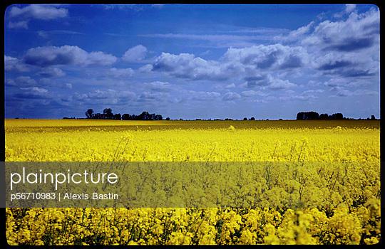 Rapsfeld in der Normandie - p56710983 von Alexis Bastin