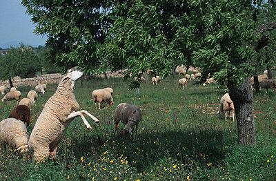 Schaf frißt von Baum - p2680147 von M. Klippel