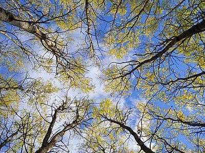 Aspen trees - p5756825f by Stefan Ortenblad
