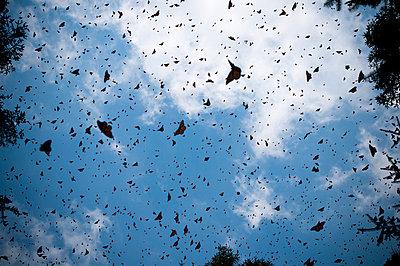 Monarch Butterflies in Flight - p6943880 by Sean McCormick