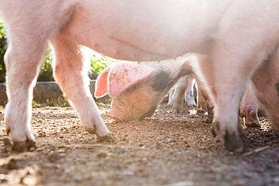 Schweine - p1057m1072056 von Stephen Shepherd