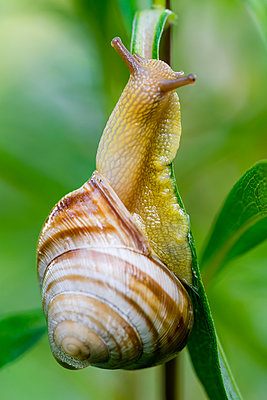 Close-up of snail on plant - p1166m2112245 by Nenad Milosev
