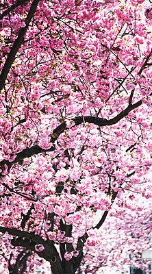 Cherry tree - p3180474 by Christoph Eberle