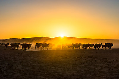 Backlight of cattle on way home at sunset, Twyfelfontein, Damaraland, Namibia, Africa - p871m1478788 by Michael Runkel