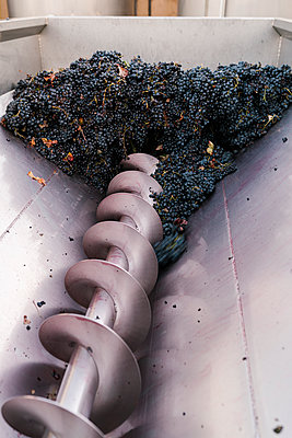 Bunch of grapes in crushing machinery at winery - p300m2226042 by Ezequiel Giménez