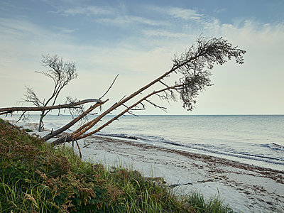 Schiefe Bäume am Strand - p1200m1131612 von Carsten Görling