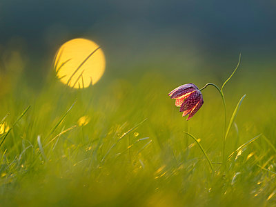 Snake's Head Fritillary on a meadow at morning light - p300m2003965 von Brigitte Stehle
