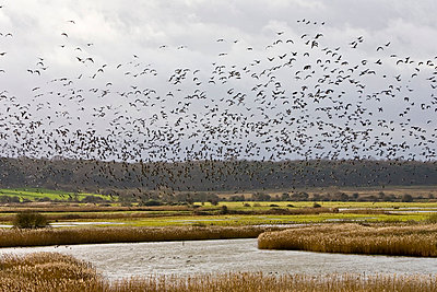 Migrating Pink-Footed geese over-wintering at Holkham, North Norfolk coast, East Anglia, Eastern England - p871m837894 by Tim Graham