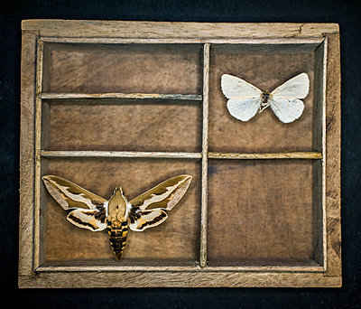 Two moths in a box - p971m1196162 by Reilika Landen