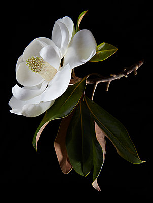 Magnolia Bloom - p1166m2136427 by Cavan Images