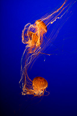 Dancing jellyfish - p6950038 by Rui Camilo