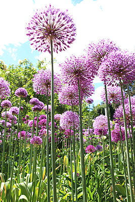 Allium Flower - p045m1042694 by Jasmin Sander