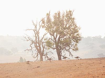 Kangaroos in dry field - p1427m2186477 by WalkerPod Images