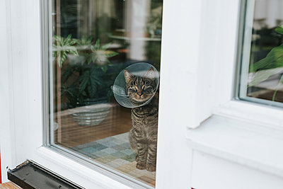 Cat with neck brace at balcony door - p1507m2217344 by Emma Grann