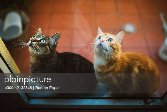 Portrait of two tabby cats waiting behind closed balcony door - p300m2132348 by Ramon Espelt
