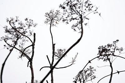 WInter Umbelliferous Plants - p1307m2073314 by Agnès Deschamps