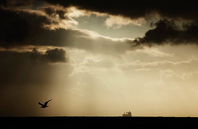 Seagull flying at sunset - p300m659913f by Tom Hoenig